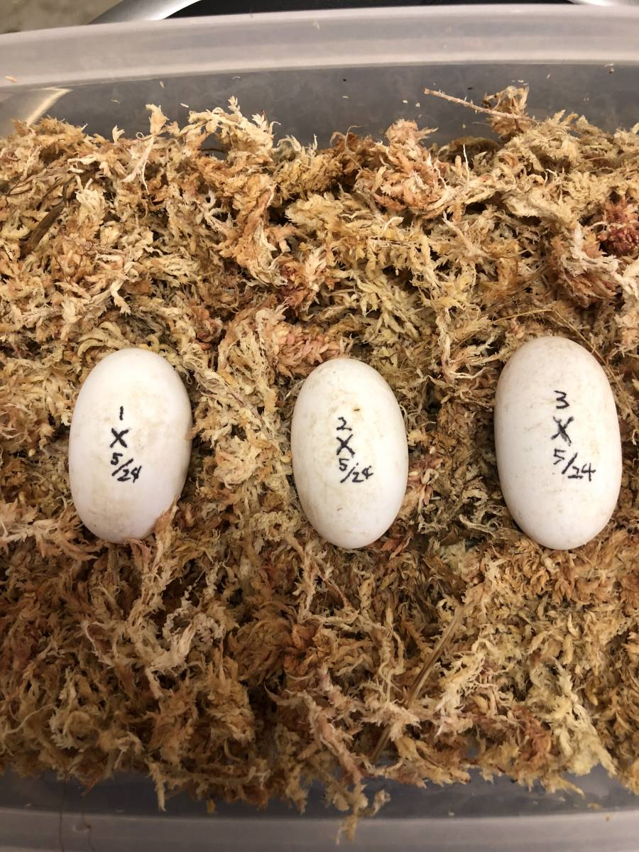 ニホンイシガメ 有精卵 5月24日産卵 2