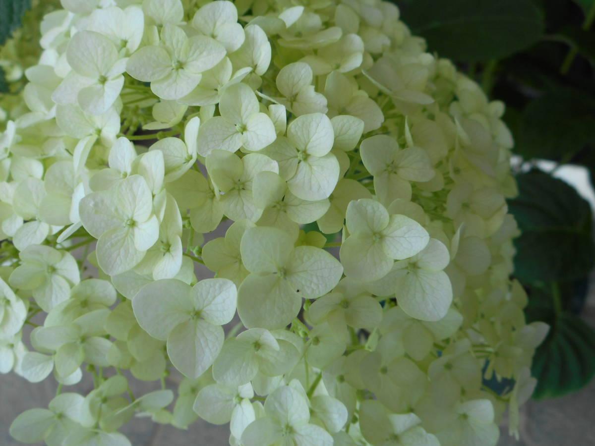 ■アメリカあじさい■ 『アナベル』 ■手毬状の大きな花■_画像2