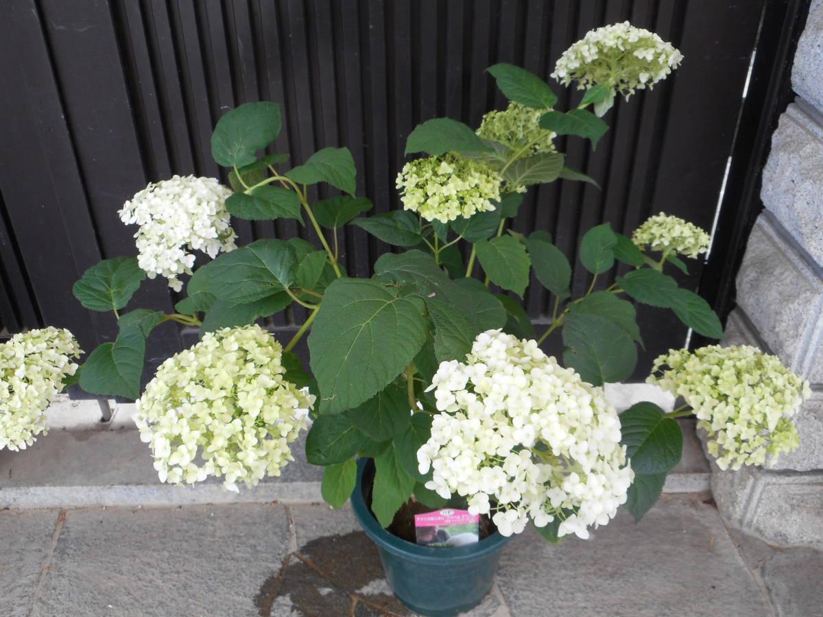 ■アメリカあじさい■ 『アナベル』 ■手毬状の大きな花■_画像5