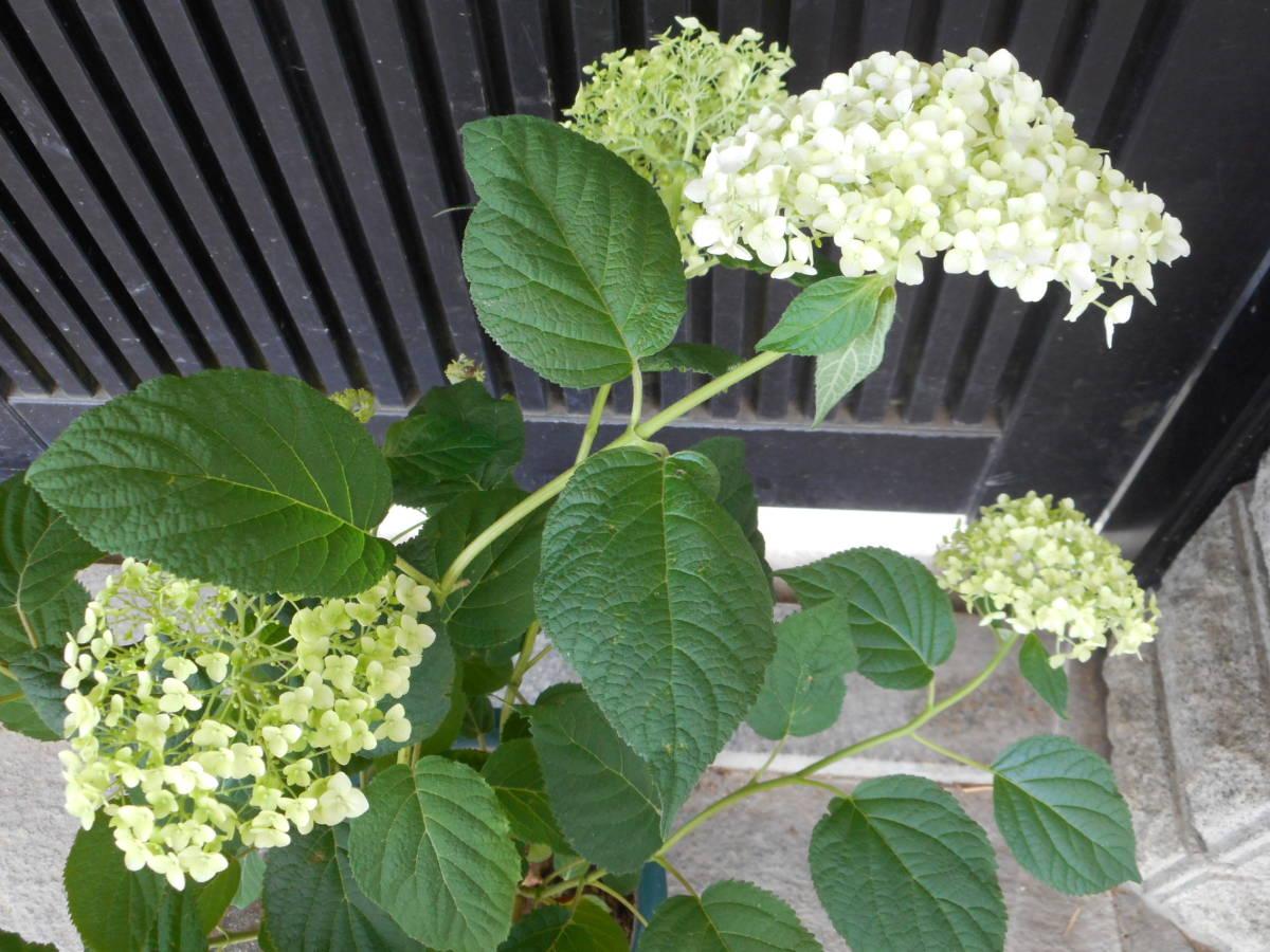 ■アメリカあじさい■ 『アナベル』 ■手毬状の大きな花■_画像7