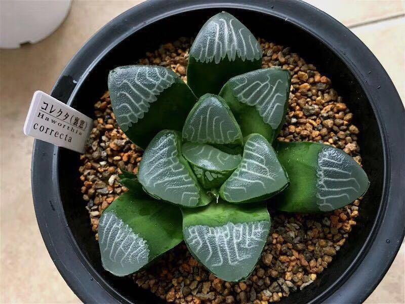 多肉植物 ハオルチア コレクター(裏窓)