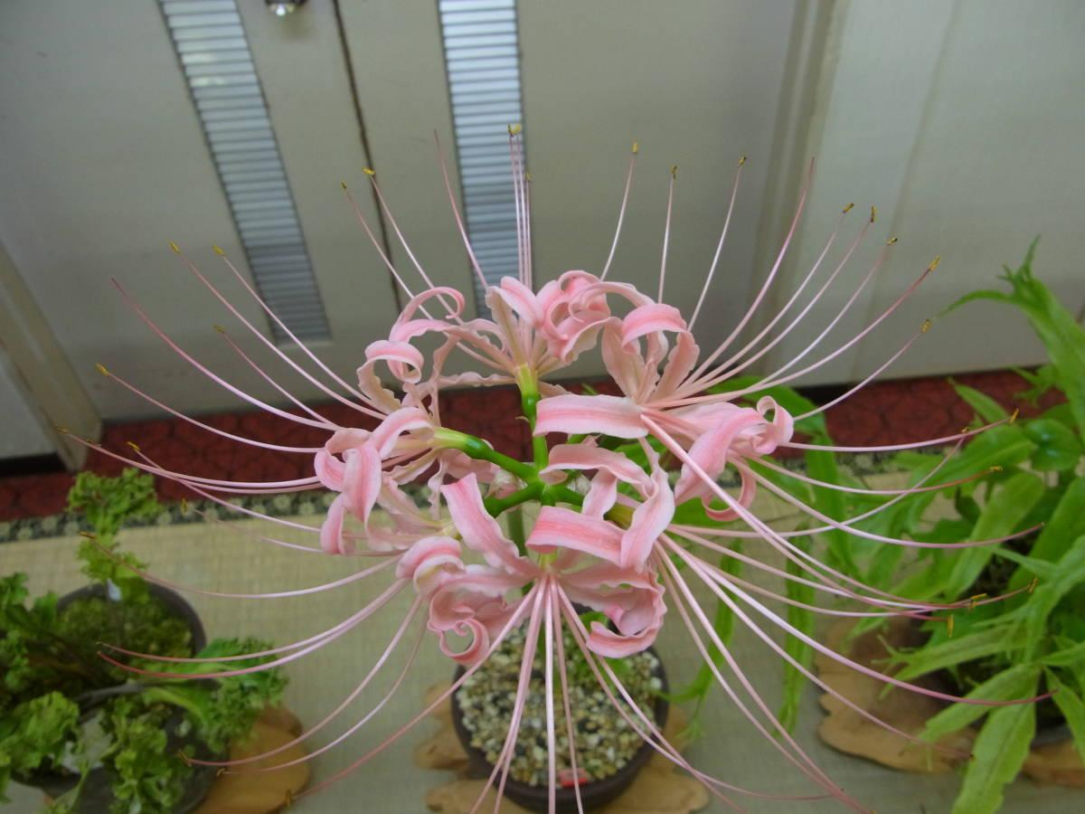 親木の花参考画像