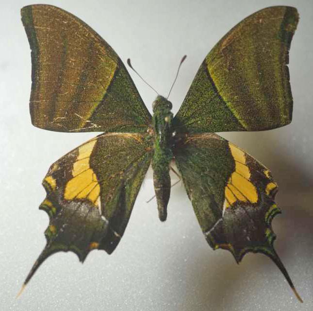 標本 702-1 稀少 ラオス産 Teiopalpus imperialis 開帳約74.1mm 現状特価