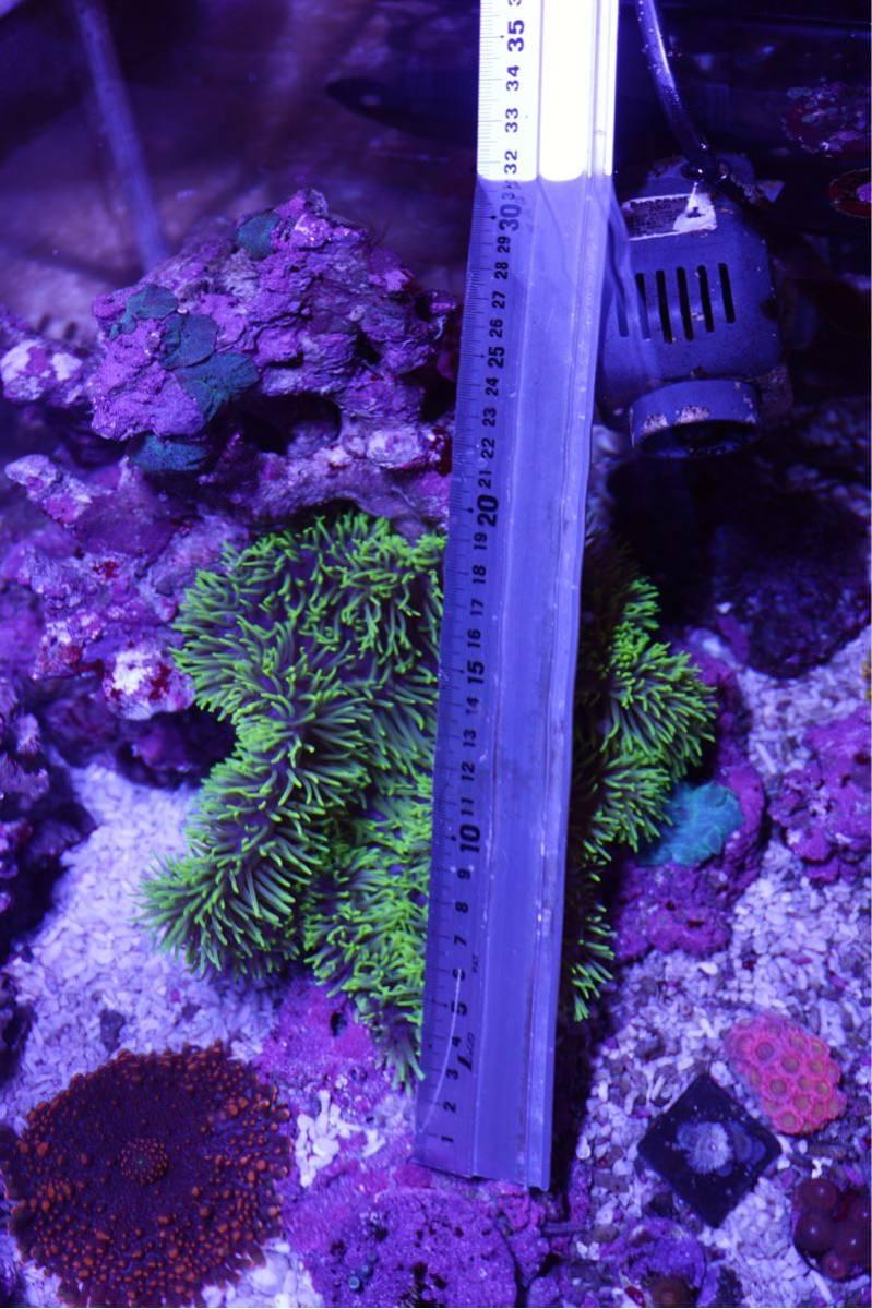 ハタゴイソゲンチャク 蛍光グリーン 直径20cmほど_画像2
