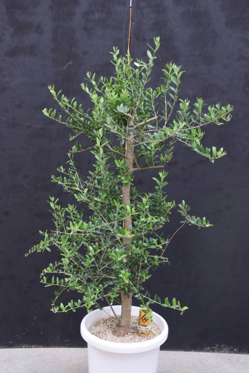 ☆小豆島で育んだ オリーブ ネバディロブランコ  鉢植え 地植えok 1.4m