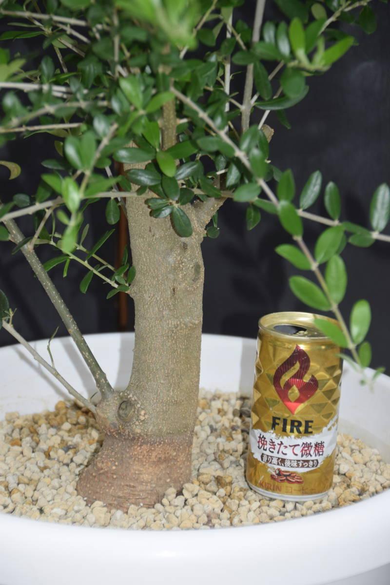 ☆小豆島で育んだ オリーブ ネバディロブランコ  鉢植え 地植えok 1.4m_画像3