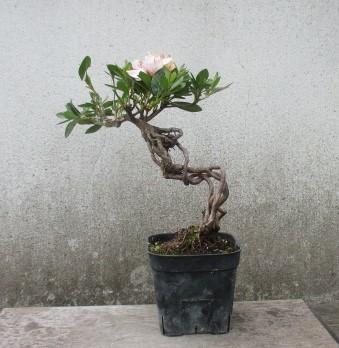 小品 根上り さつき盆栽  ◆琴の舞◆  鉢 9*9cm_画像2