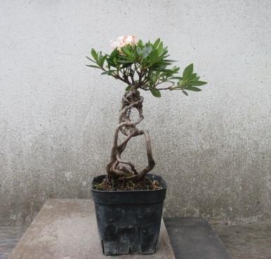 小品 根上り さつき盆栽  ◆琴の舞◆  鉢 9*9cm_画像3