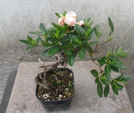 小品 根上り さつき盆栽  ◆琴の舞◆  鉢 9*9cm_画像4