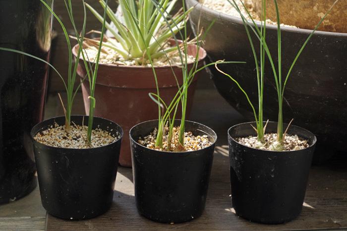【塊根植物】Beaucarnea gracilis ボーカルネア 国内実生株 2本立  第4種郵便可_画像1