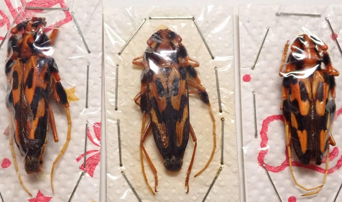 ●●世界のカミキリ3●●昆虫 甲虫 虫 カミキリ カミキリムシ 剥製 ハクセイ 自然科学 自然 博物学 学術標本 標本_画像1