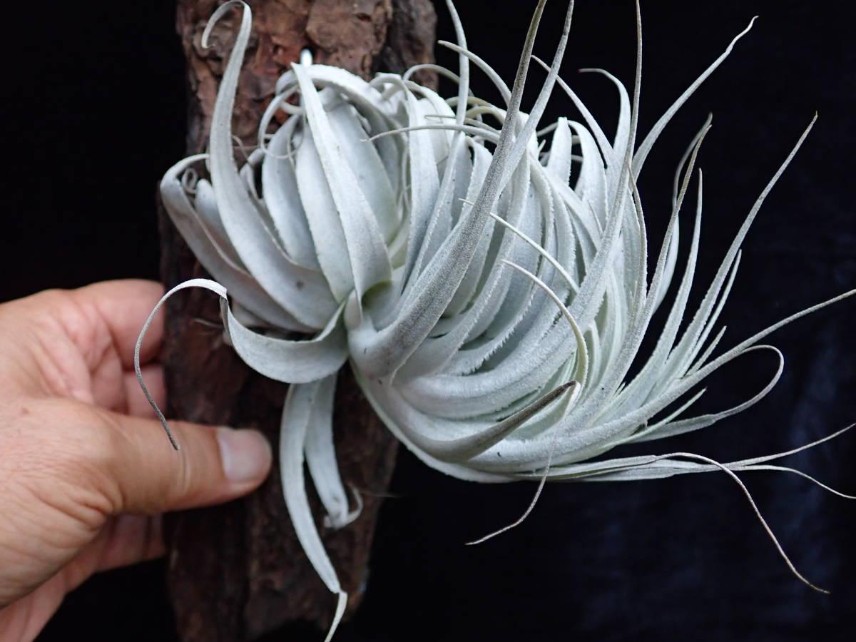 出品の植物です