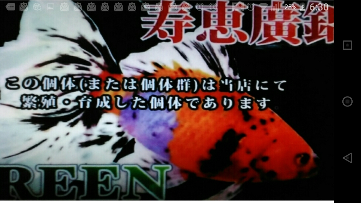 Rー67.●●寿恵廣錦●●.4月8日孵化、約7㎝前後、モザイク、色柄、発色の良い画像のコンビです。_画像10