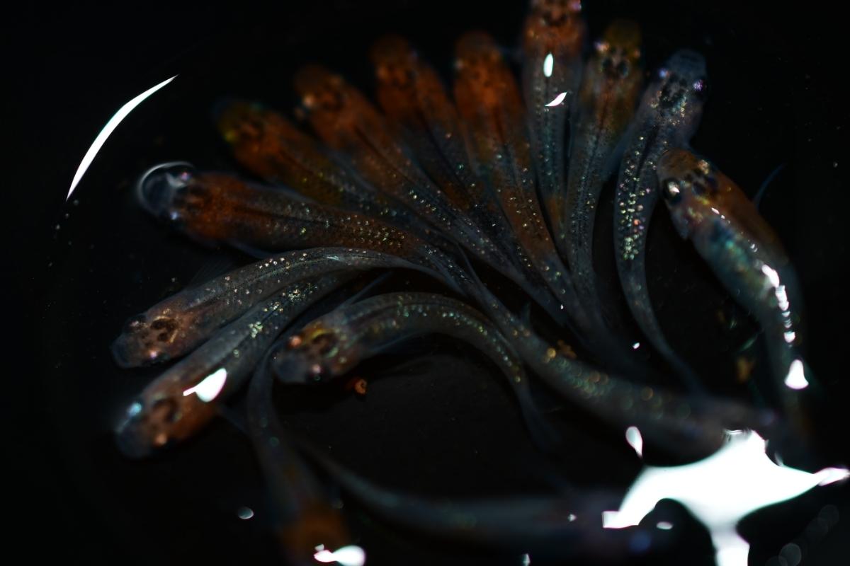現物出品 女雛ラメ(丹頂タイプ多数)幼魚 15匹 即決は送料無料 A-43_画像7