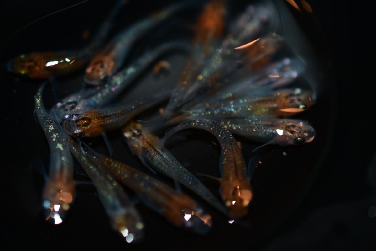 現物出品 女雛ラメ(丹頂タイプ多数)幼魚 15匹 即決は送料無料 A-43