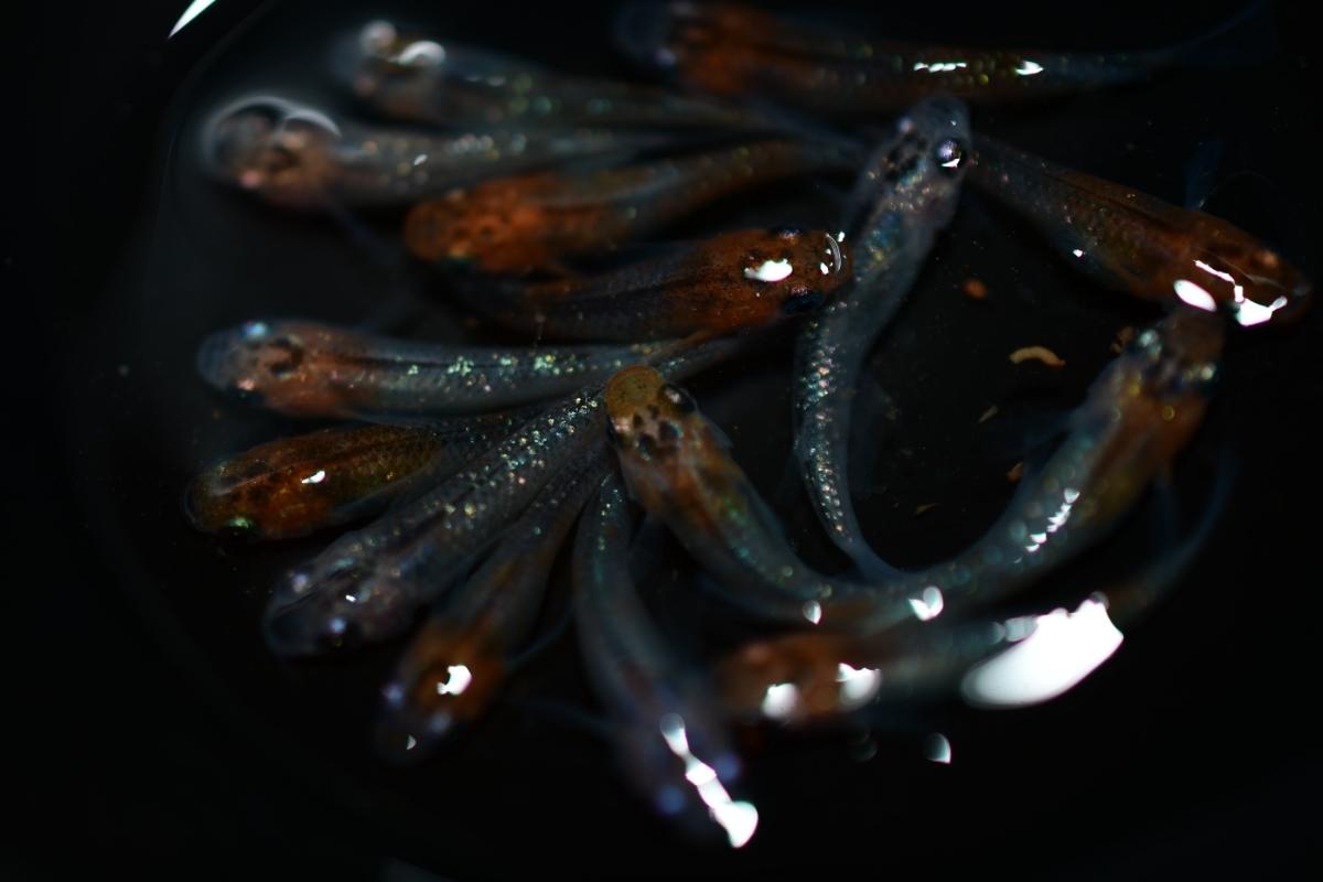 現物出品 女雛ラメ(丹頂タイプ多数)幼魚 15匹 即決は送料無料 A-43_画像6