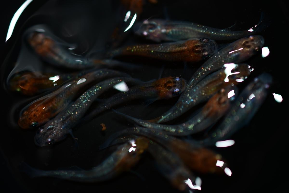 現物出品 女雛ラメ(丹頂タイプ多数)幼魚 15匹 即決は送料無料 A-43_画像3