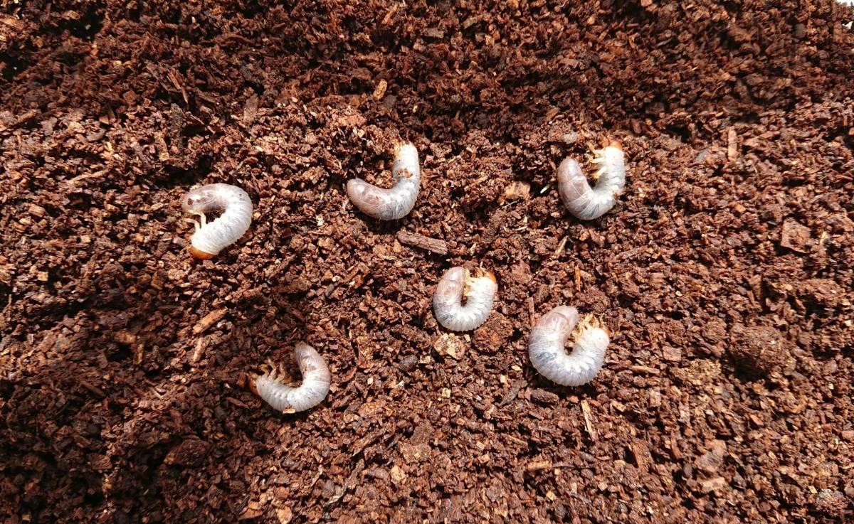 DHヘラクレス 幼虫 6匹 RF血統 BE-KUWAギネス 同腹兄弟子孫 U6SA-GTR 大型 極太 美形 リバーフィールド様 カブトムシ _画像4