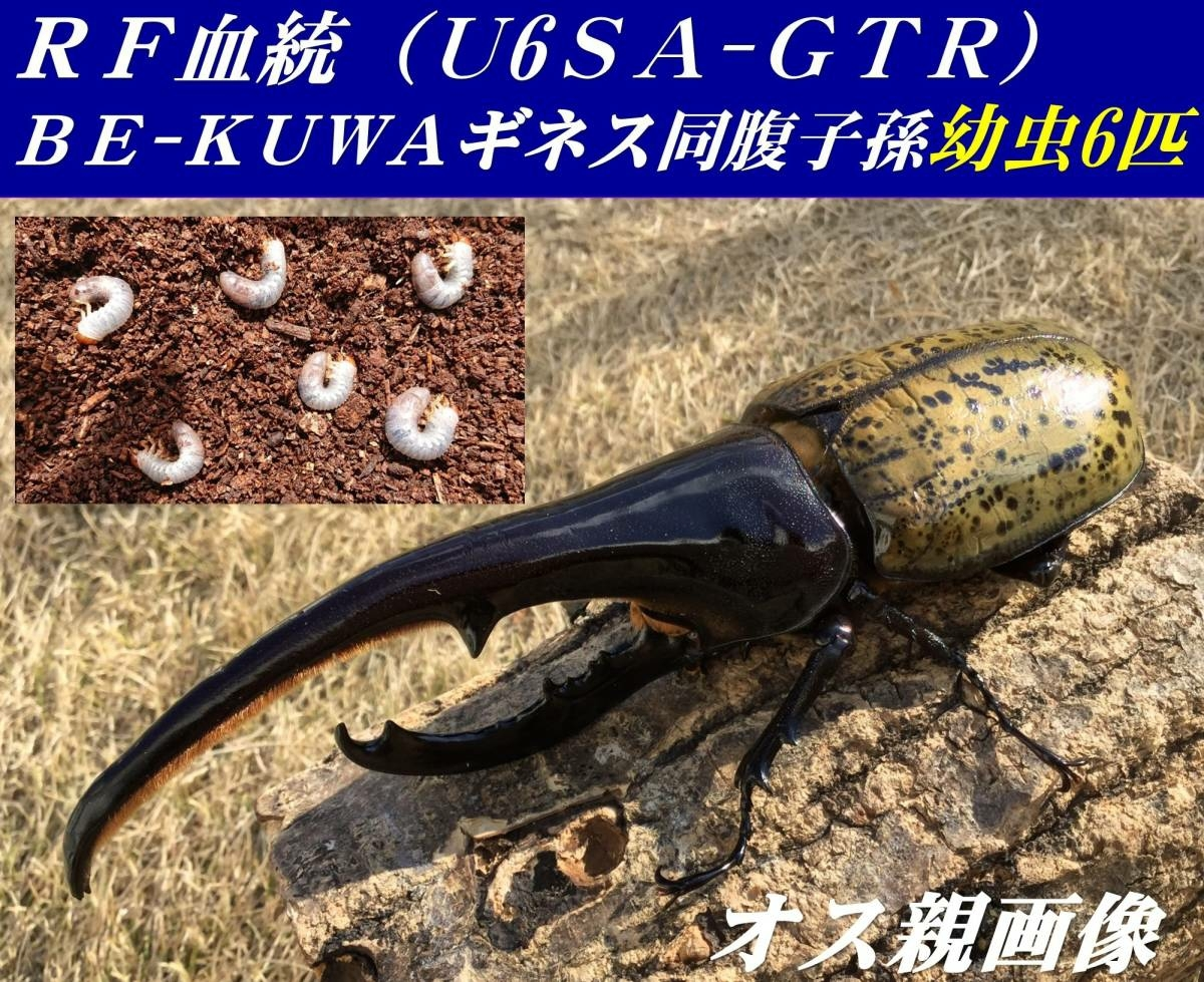 DHヘラクレス 幼虫 6匹 RF血統 BE-KUWAギネス 同腹兄弟子孫 U6SA-GTR 大型 極太 美形 リバーフィールド様 カブトムシ