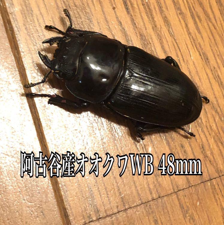 阿古谷産オオクワガタWB使用済ペア♂73mm ♀48mm&幼虫3頭_画像4