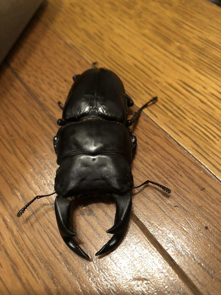 阿古谷産オオクワガタWB使用済ペア♂73mm ♀48mm&幼虫3頭_画像3