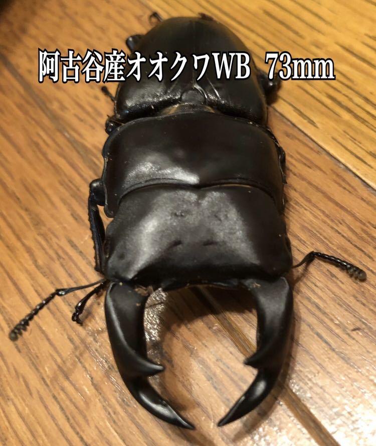 阿古谷産オオクワガタWB使用済ペア♂73mm ♀48mm&幼虫3頭