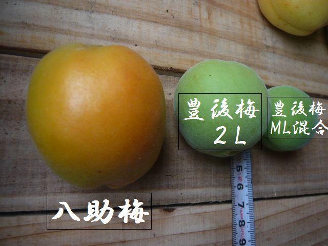 ◆青梅「豊後梅」青森県産 2Lサイズ 10Kg_画像2