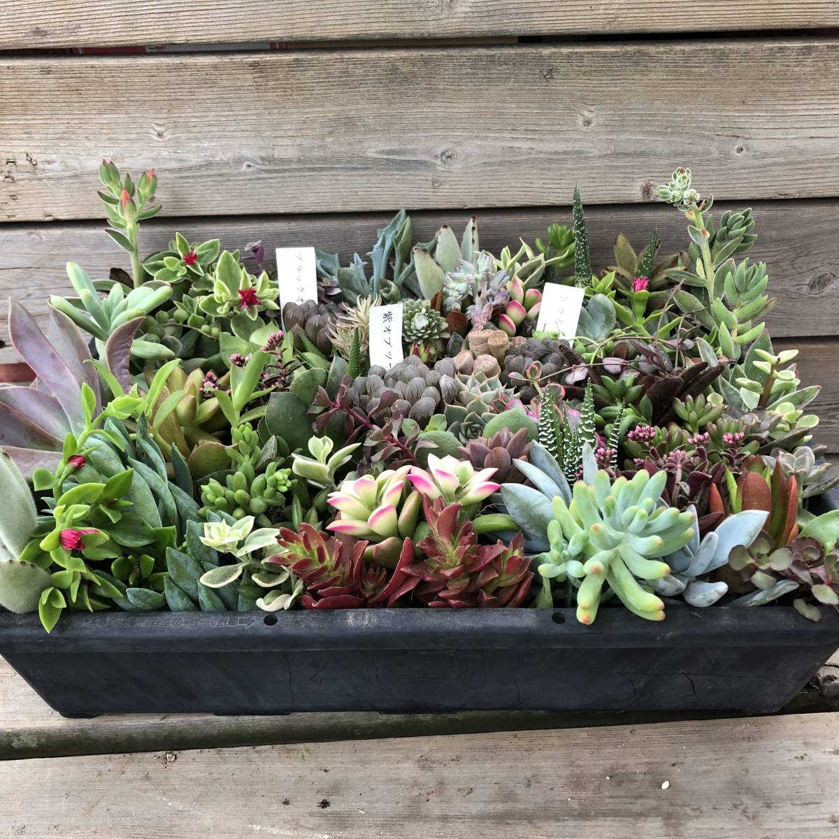 ■A-plants-r■ヤフオク初出品特価!多肉植物 ハオルチア3種&プラグ・カット苗 200ピースセット