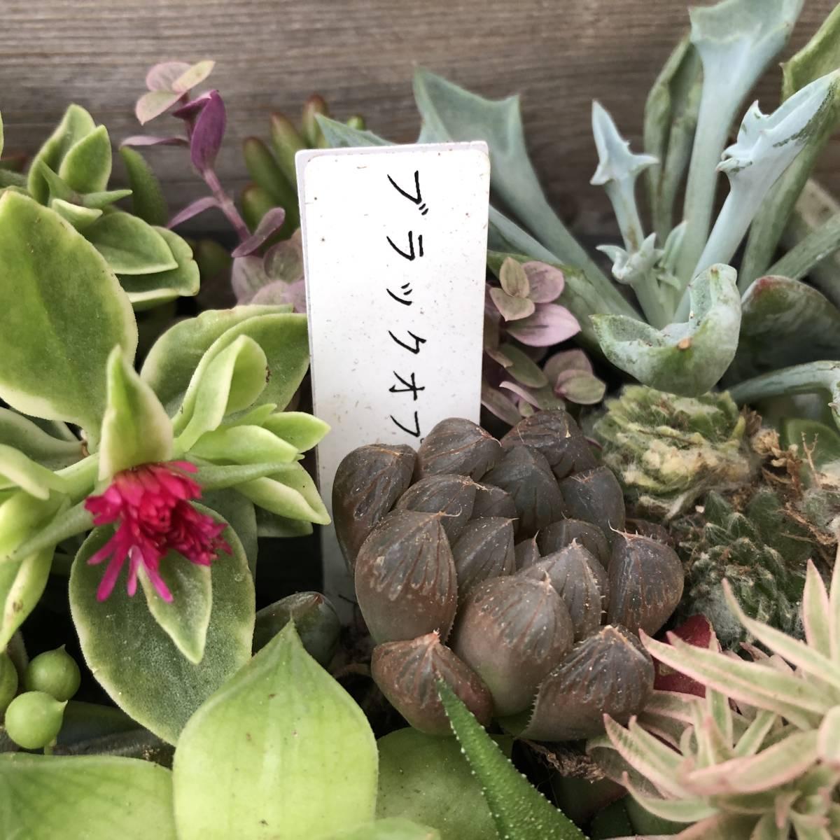 ■A-plants-r■ヤフオク初出品特価!多肉植物 ハオルチア3種&プラグ・カット苗 200ピースセット_画像2