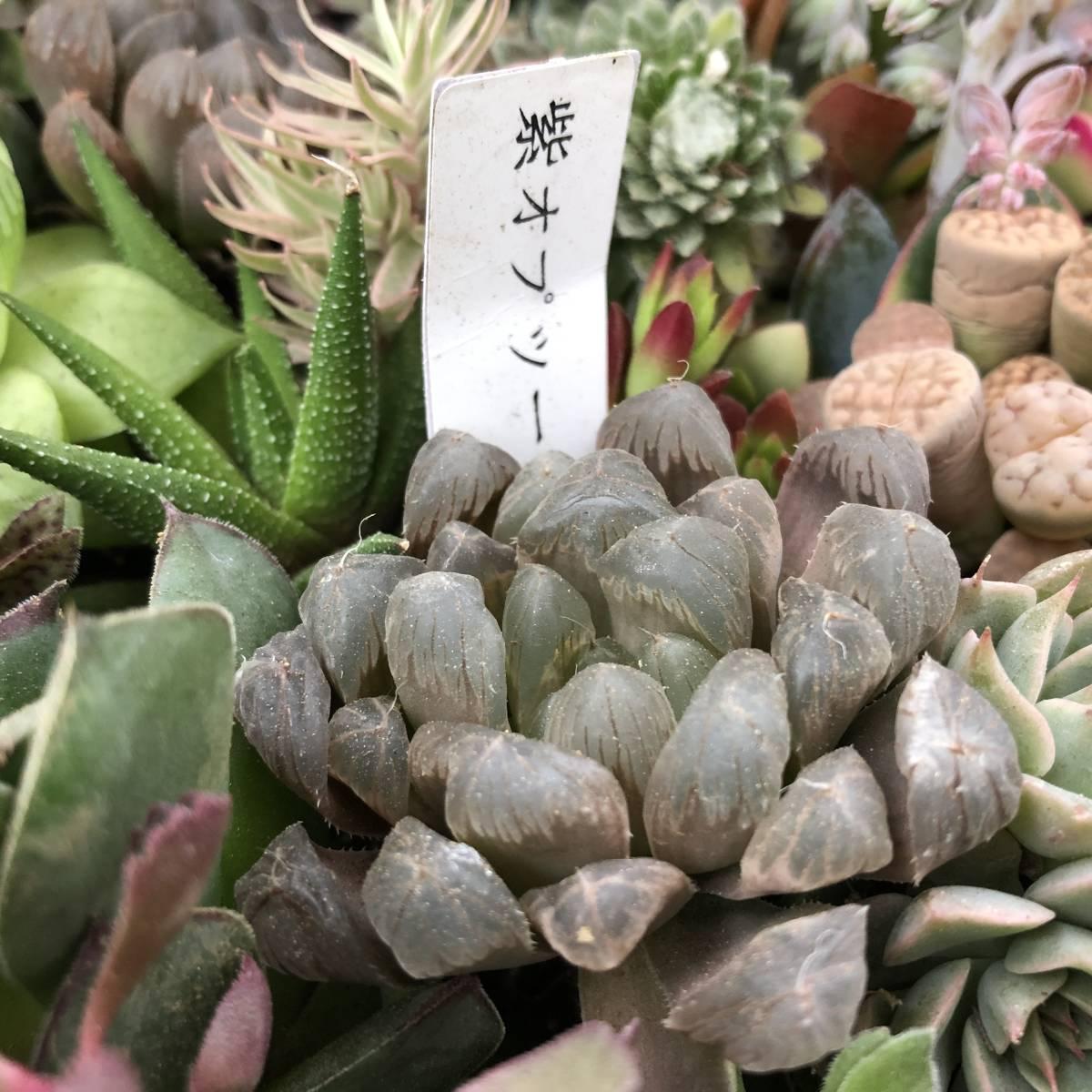 ■A-plants-r■ヤフオク初出品特価!多肉植物 ハオルチア3種&プラグ・カット苗 200ピースセット_画像3