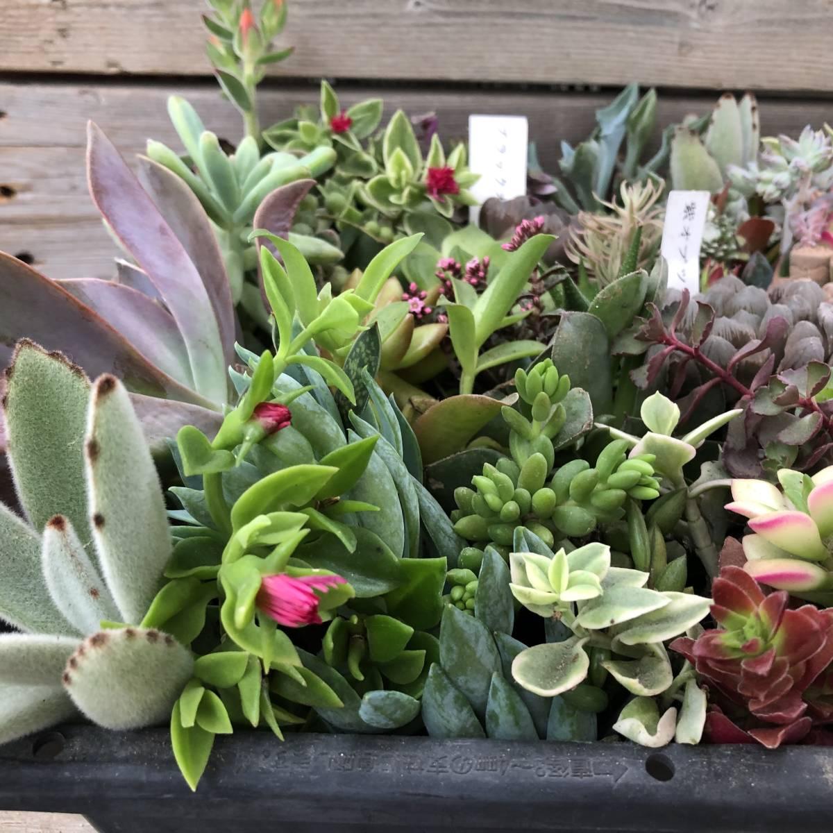 ■A-plants-r■ヤフオク初出品特価!多肉植物 ハオルチア3種&プラグ・カット苗 200ピースセット_画像5