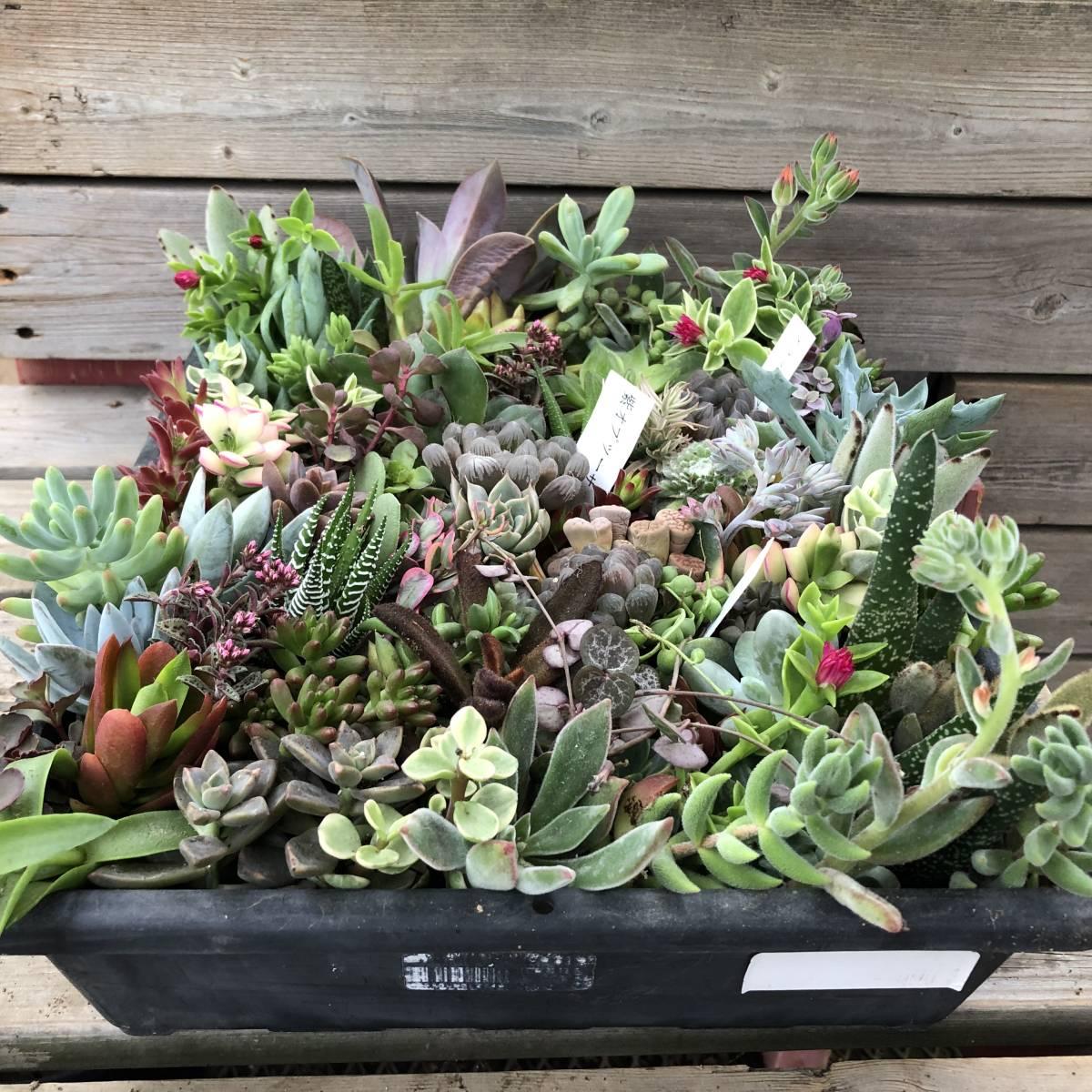 ■A-plants-r■ヤフオク初出品特価!多肉植物 ハオルチア3種&プラグ・カット苗 200ピースセット_画像7