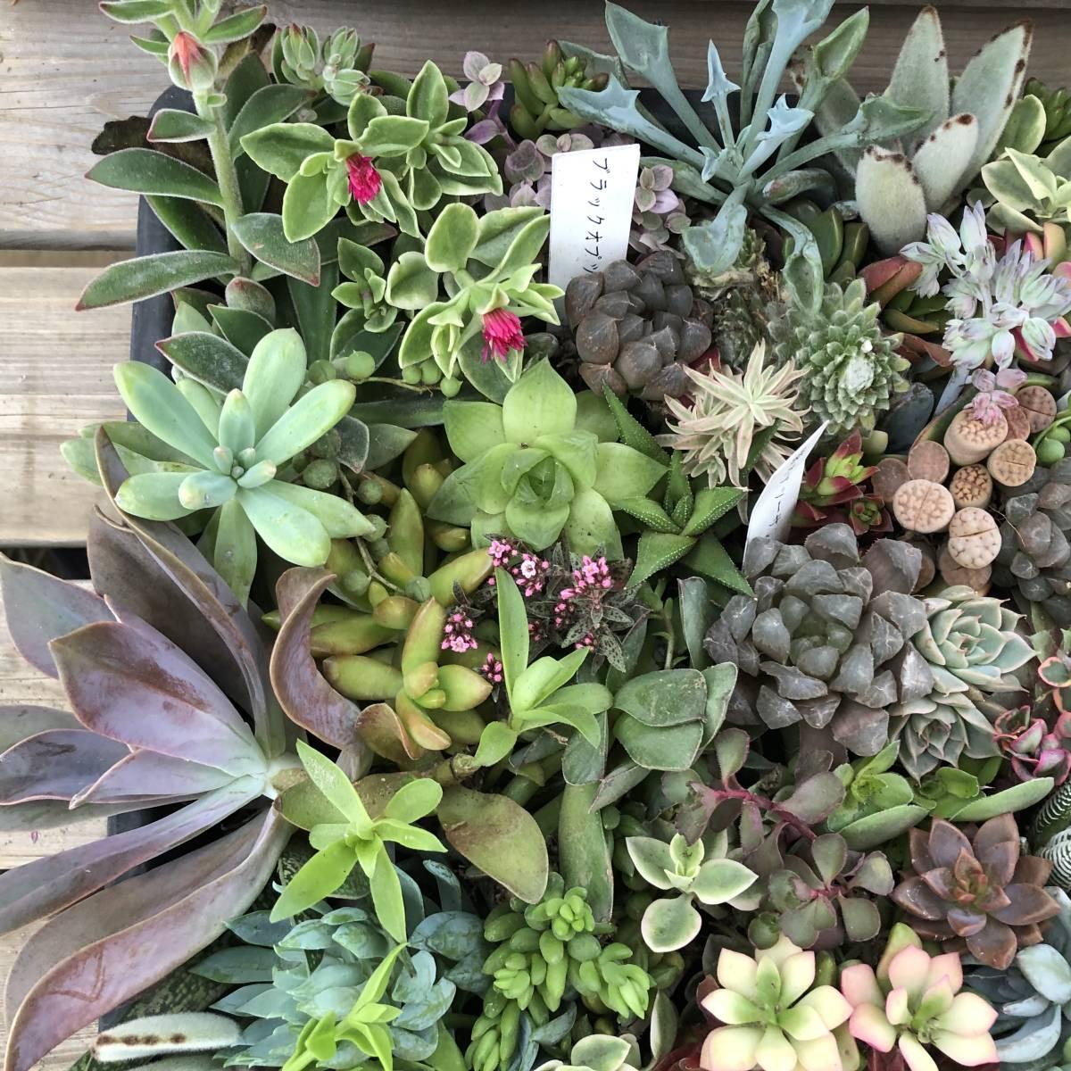 ■A-plants-r■ヤフオク初出品特価!多肉植物 ハオルチア3種&プラグ・カット苗 200ピースセット_画像8
