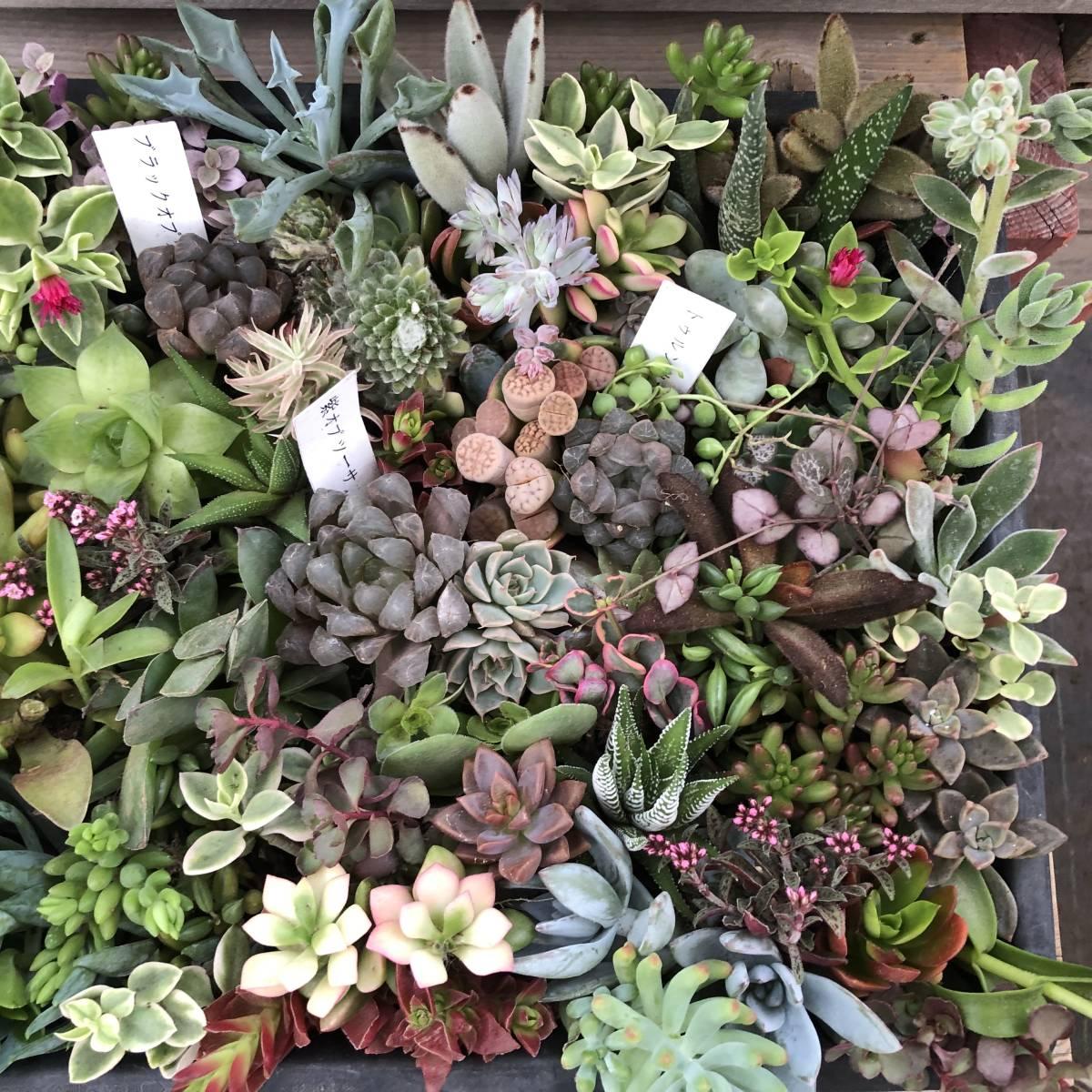 ■A-plants-r■ヤフオク初出品特価!多肉植物 ハオルチア3種&プラグ・カット苗 200ピースセット_画像9