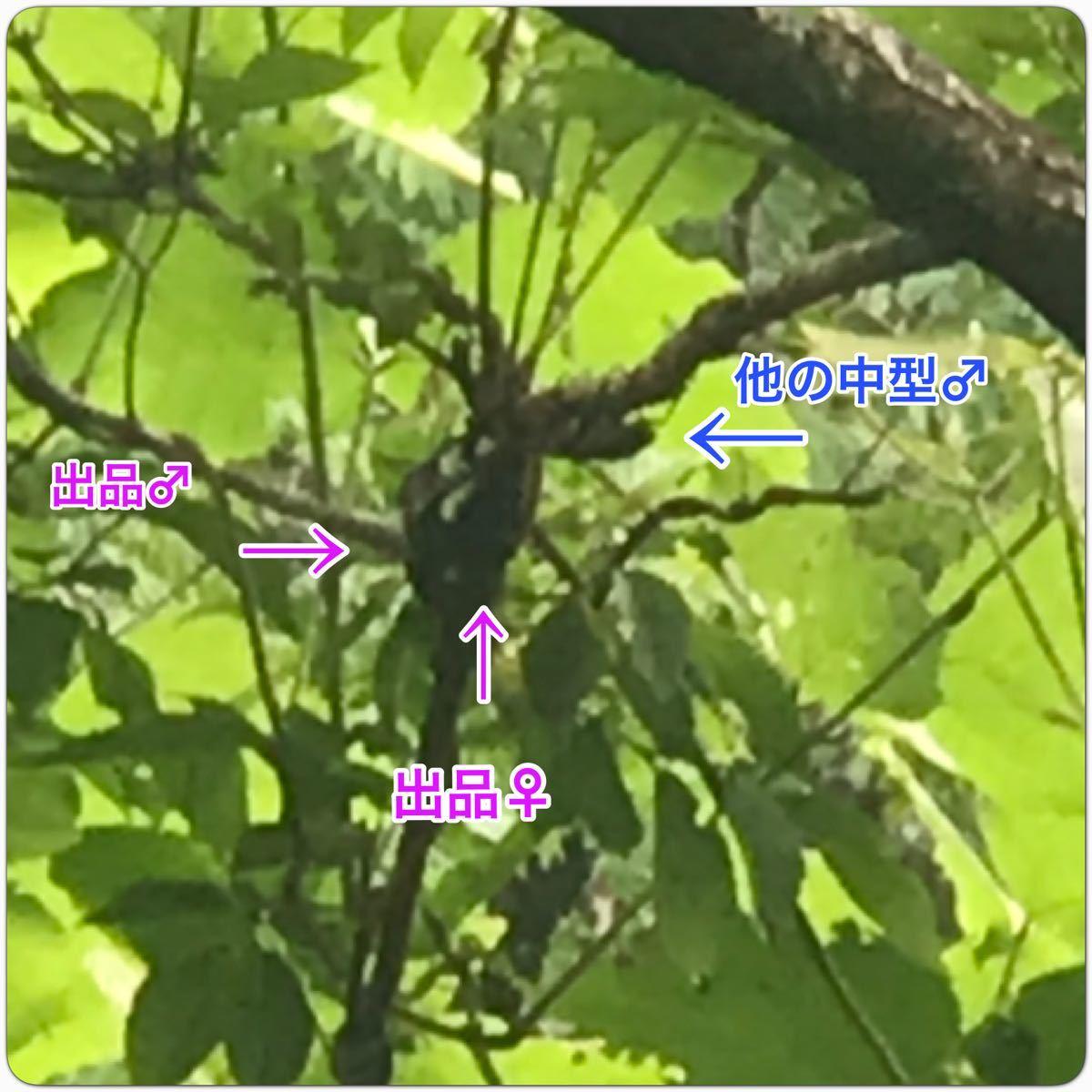 No.47【虫神蔵】天然 大型 ミヤマクワガタ 宮崎県産 ♂74mm+メイトガード♀付き!_画像6