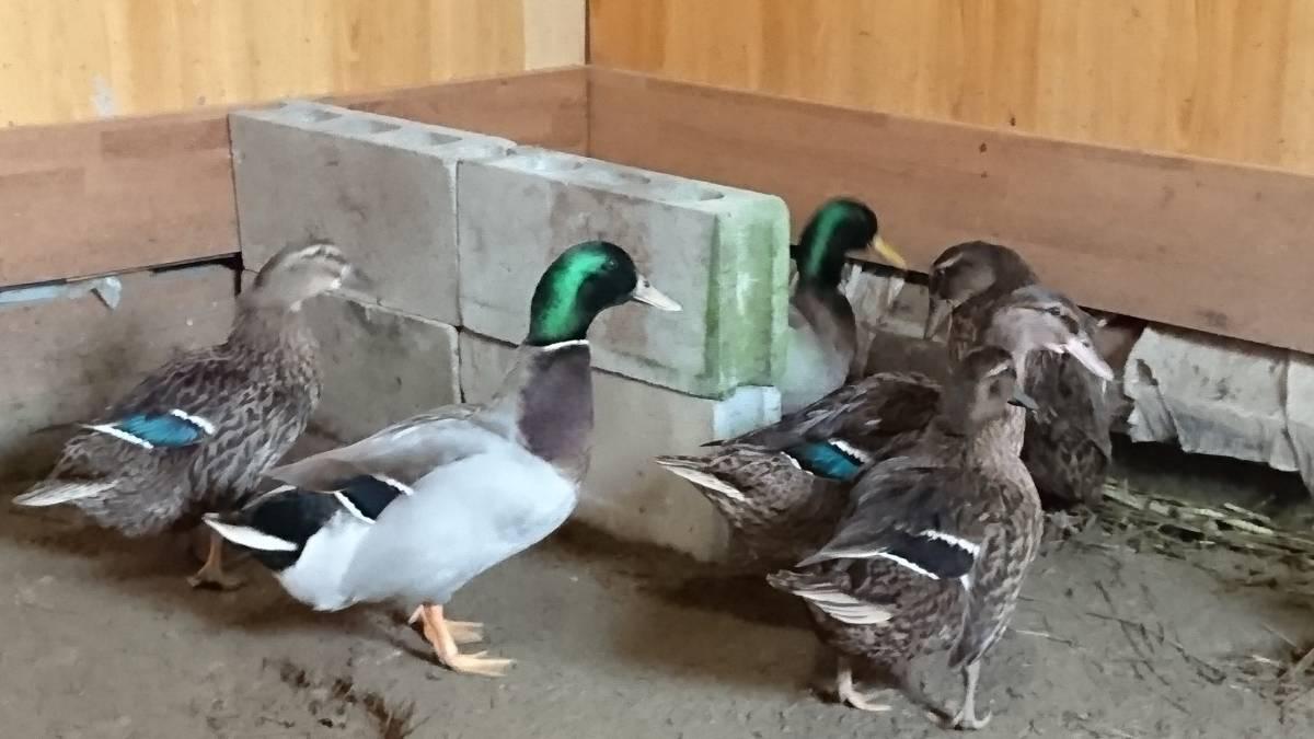 合鴨の 有精卵 孵化用 6個