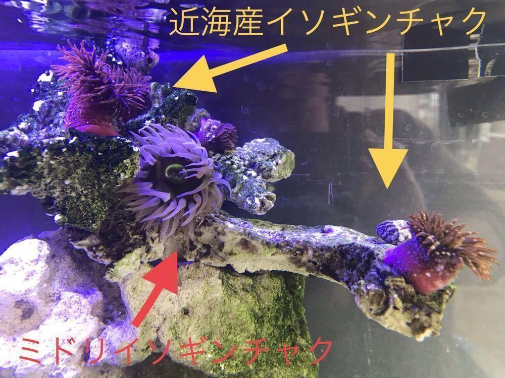 ミドリイソギンチャク オマケ近海産ヤドカリ コケ取り シッタカ_画像4