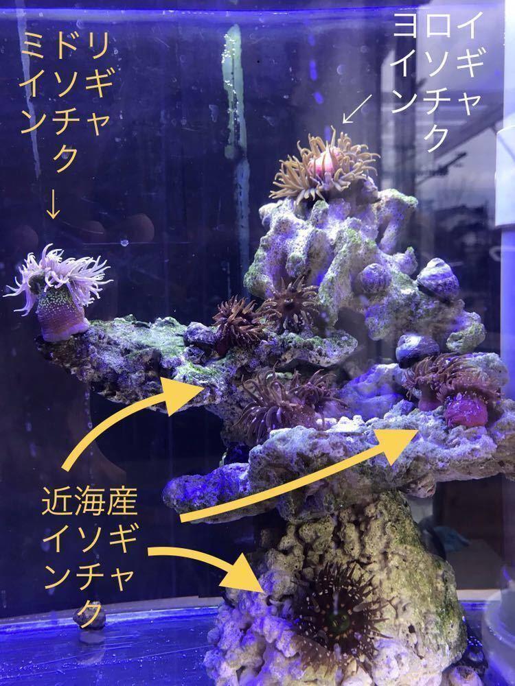 ミドリイソギンチャク オマケ近海産ヤドカリ コケ取り シッタカ_画像3