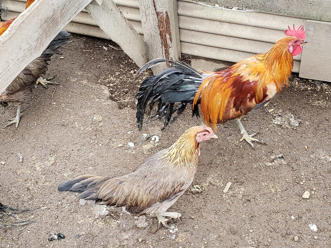 尾長鶏の有精卵6個