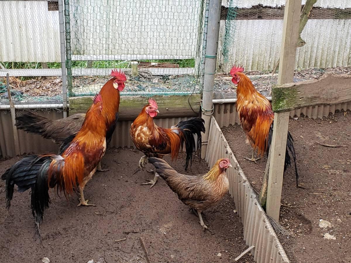 尾長鶏の有精卵6個_画像2