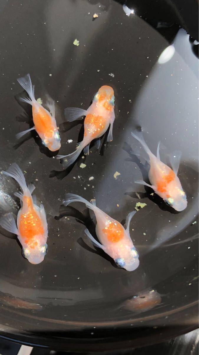 【漁師めだか】紅白ラメ ダルマの卵 37 個 メダカ