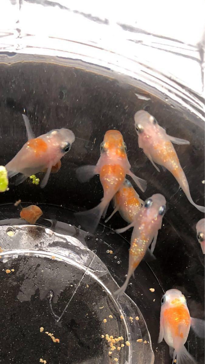 【漁師めだか】紅白ラメ ダルマの卵 37 個 メダカ_画像4