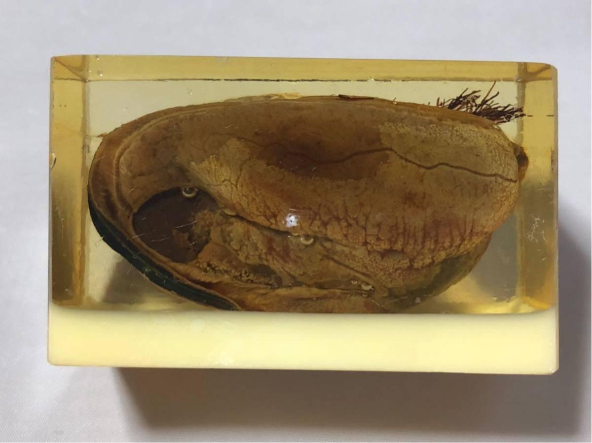 清少納言のイ貝(貽貝) レジン 鳴門秘宝 笑物 春物 昭和前期アンティーク J0628F_画像3