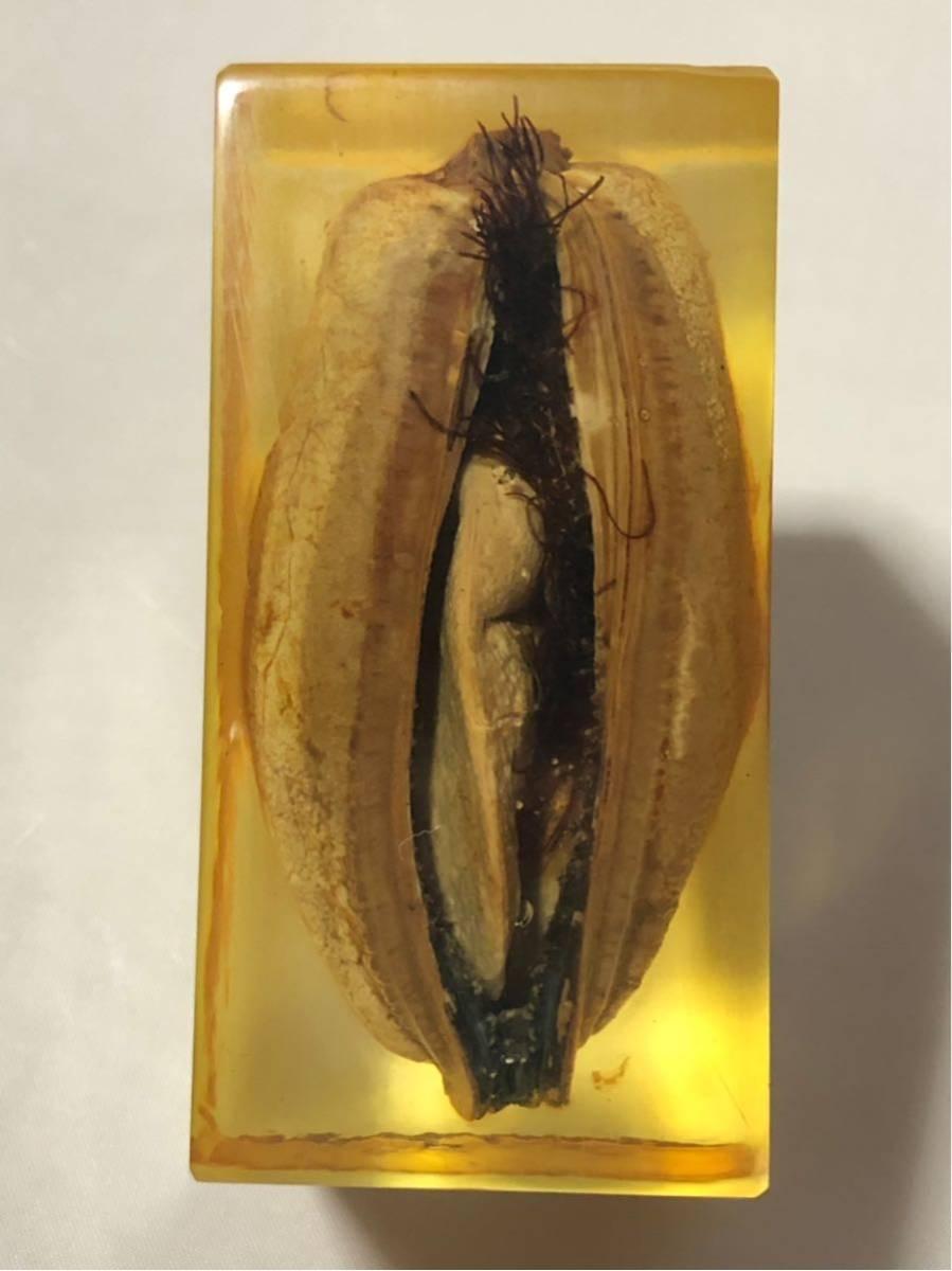 清少納言のイ貝(貽貝) レジン 鳴門秘宝 笑物 春物 昭和前期アンティーク J0628F_画像2