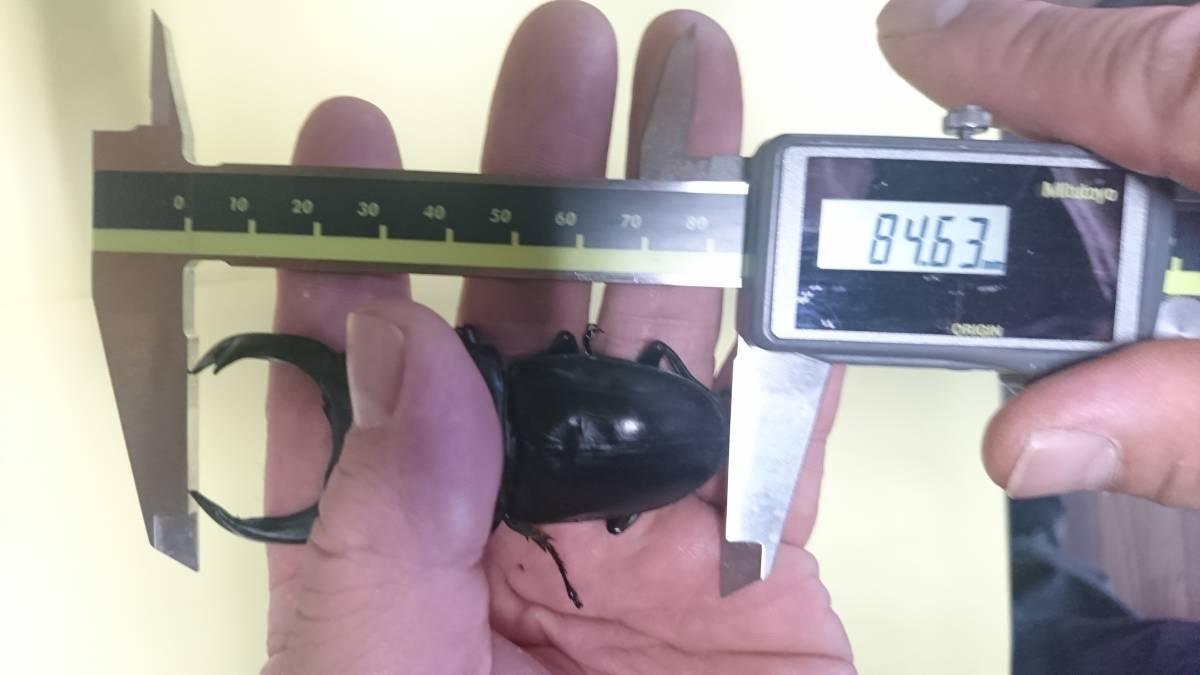 【絶煩Tajinyo】 能勢YG 新成虫トリオ ♂84.5mm 同腹♀52.7mm 別ライン♀54.0mm_画像2