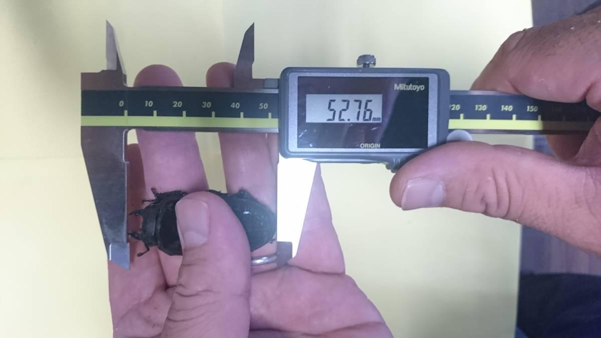 【絶煩Tajinyo】 能勢YG 新成虫トリオ ♂84.5mm 同腹♀52.7mm 別ライン♀54.0mm_画像3