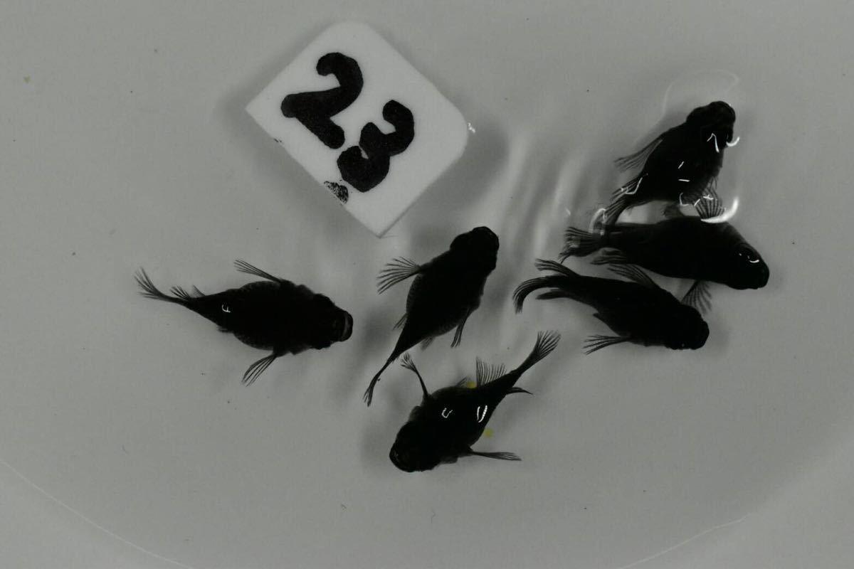 オロチヒレ長のダルマ雄2 雌4 23_画像3