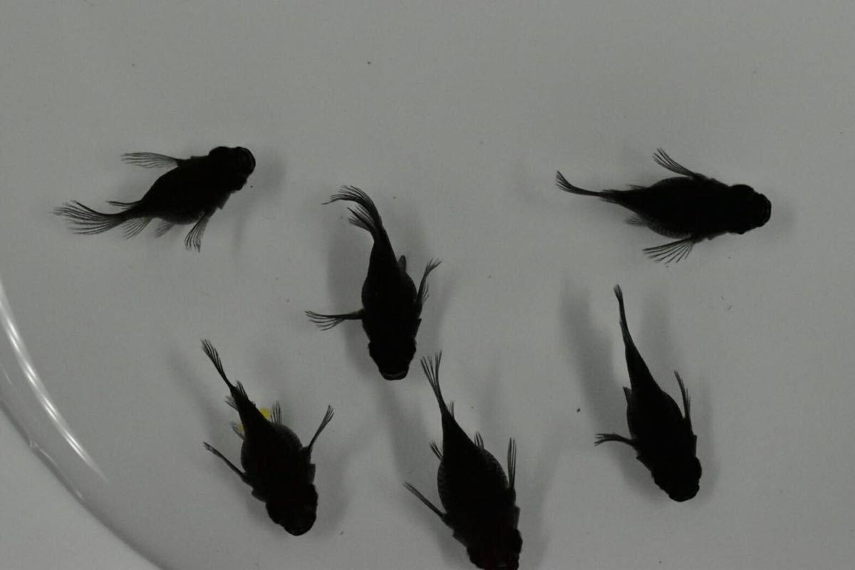 オロチヒレ長のダルマ雄2 雌4 23_画像2