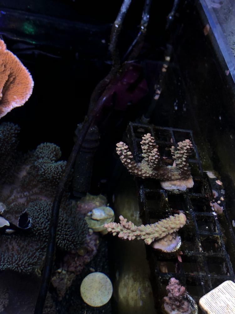【サンゴめだか】ストロベリーショートケーキ/オーストラリア産/ハードコーラル/フラグ1/ミドリイシ/SPS_画像9