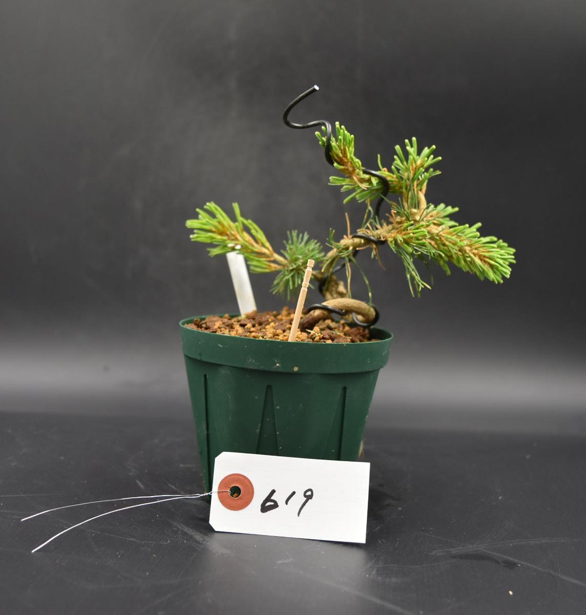 斑入り五葉松 【花火】 ミニ盆栽素材 数量物 樹形色々 樹高9cm #619_画像6